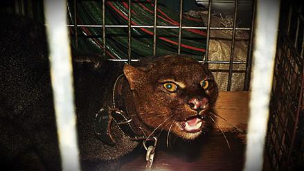 Serfor rescató un felino de montaña que era criado como mascota en Huancayo