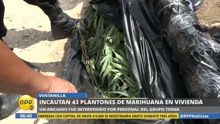 Hallan 43 plantones de marihuana en la casa de un anciano en Ventanilla