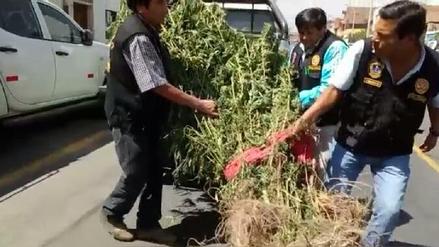 Policía antidrogas incauta más de 40 plantones de marihuana