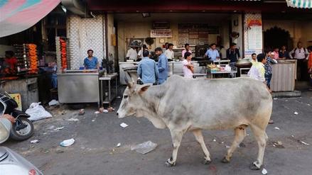 India evalúa crear refugios para vacas abandonadas