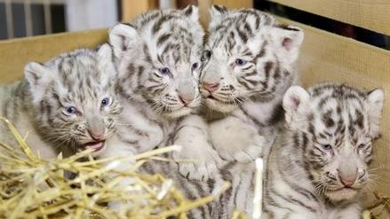 Nacen cuatro tigres blancos de Bengala en Austria