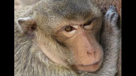 ¿Primates, monos o simios? Manual para no confundirse