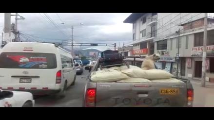 Cajamarca: Perro es trasladado en tolva de camioneta