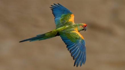 Guacamayo Frente Roja: volando entre amenazas y esfuerzos de conservación
