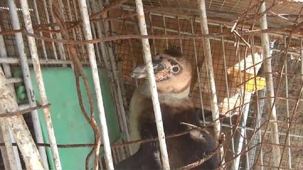 Pingüinos rescatados viven en precarias condiciones en Dirección de Agricultura