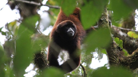 Perú: el mono choro de cola amarilla se aferra a la vida en los bosques nublados