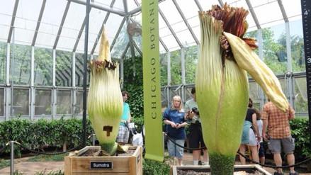 Dos gigantes 'flores cadáver' florecen en Chicago