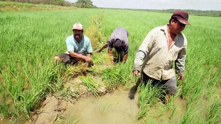 El norte produce casi el 60% de la producción nacional de arroz