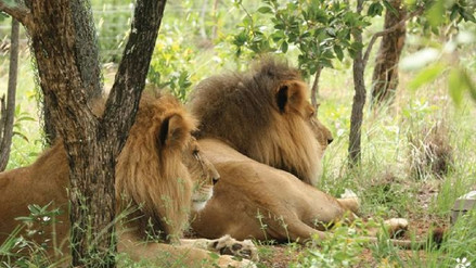 Dos leones rescatados de circos peruanos fueron descuartizados en Sudáfrica