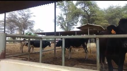 Centro de producción de la UNP brinda alternativa con leche fresca