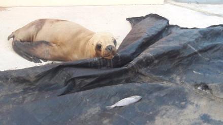 Liberan a lobo marino que fue capturado para su comercialización