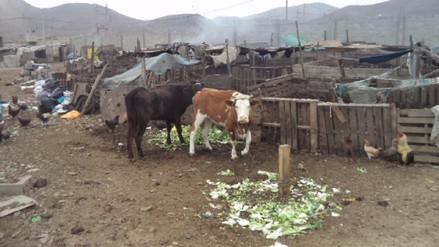 Ventanilla: Criaderos no cumplirían con medidas de salubridad
