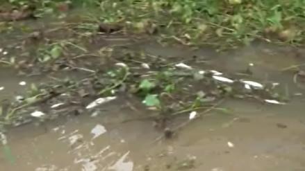 Investigan masiva muerte de peces en quebrada de Yurimaguas