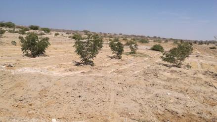 Inician campaña de restauración de bosques secos depredados en Mórrope