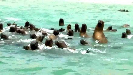 Reportaje | Matanza de lobos marinos, un crimen ecológico que aumenta año a año