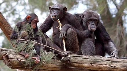 """Los chimpancés pueden """"sacrificarse"""" por sus compañeros"""
