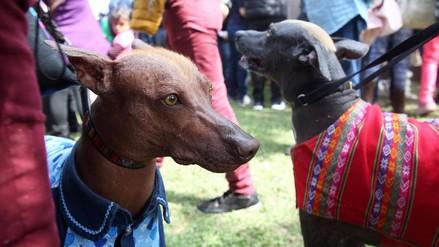 Reportaje | El perro sin pelo del Perú deja atrás años de discriminación y estigma