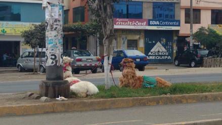 SMP: Vecinos denuncian maltrato animal en principal avenida
