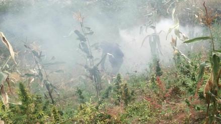 Erradican más de 26 plantones de marihuana en Pallasca