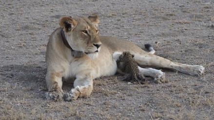Captan a leona criando a cachorro de leopardo perdido