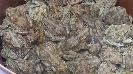 Decomisan más de mil sapos que iban a ser preparados en extractos
