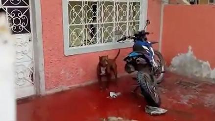 Chiclayo: perro pitbull se convierte en un peligro para vecinos de Pátapo
