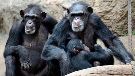 Descubren signos de la enfermedad de Alzheimer en chimpancés
