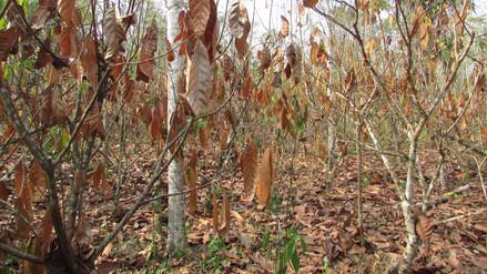 Sequía afecta cultivos de cacao en provincia de Tocache