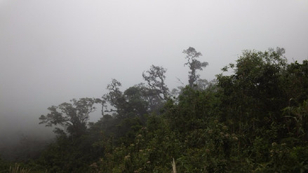 Cinco especies del árbol de la Quina están en la sierra de Lambayeque