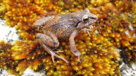 Informe | Descubren 3 ranas pequeñitas en un bosque de Junín