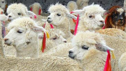 Perú es el mayor productor de fibra de alpaca del mundo