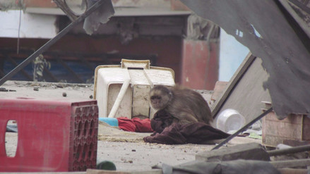 Mono vive encadenado en el tejado de una vivienda en Carabayllo