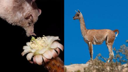 El murciélago longirostro y el guanaco, dos especies del sur peruano bajo cuidado
