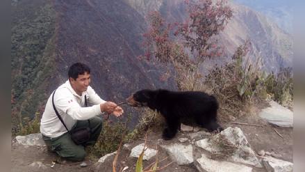 Rescatan a oso de anteojos luego de incendio forestal en Machu Picchu