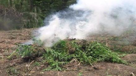 Policía decomisa e incinera 21 mil plantones de marihuana en Olmos