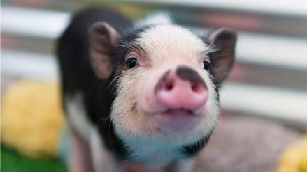 Edición genética en cerdos ayudaría a trasplantes futuros en humanos