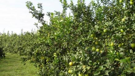 Precio del limón se incrementó en los mercados de Bagua