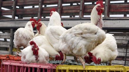 Precio del pollo fluctúa entre S/ 7.30 y S/ 7.80 el kilo en mercados