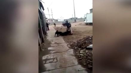 Vecinos temen por la presencia de un pitbull en Villa El Salvador