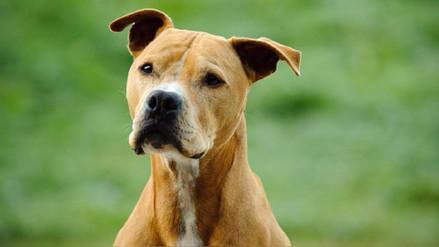 Reportaje   ¿Por qué algunos perros son considerados potencialmente peligrosos?