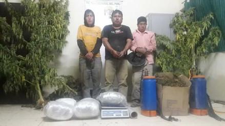 Descubren laboratorio y plantones de marihuana en Morropón