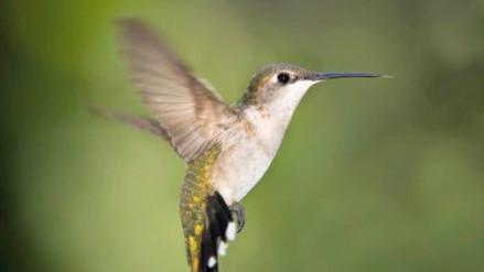 ¿Cuál es la velocidad del aleteo de un colibrí?