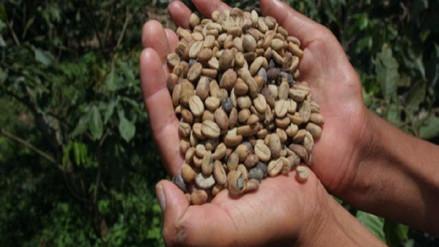 Disminuye producción de café en el Cusco por plaga