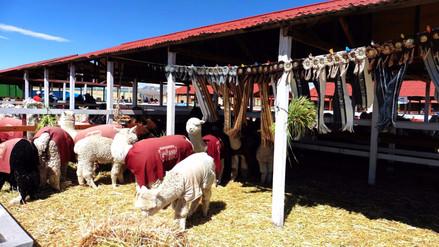 Lana de alpaca de Puno batió Récord Guinness como la mejor del mundo