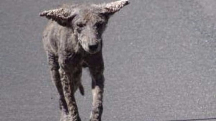 La verdad detrás de los 'perros zombie' que puso en alerta a Chicago
