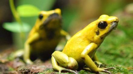 El veneno de esta rana puede matar a 10 personas, ¿por qué ella no se intoxica?