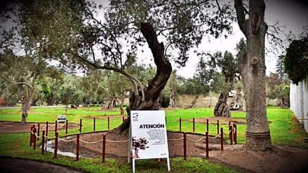 Encuentran árbol de olivo plantado por San Martín de Porres en San Isidro
