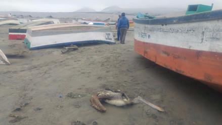Aparecen pelícanos y lobos marinos muertos en playa de Salaverry