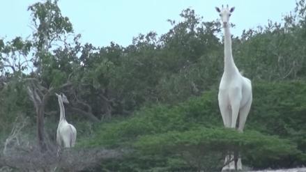Video | Graban por primera vez a unas jirafas blancas en un parque de Kenia