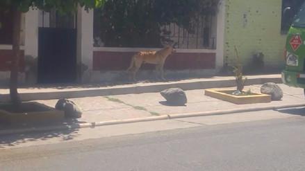 Perros serán identificados con chip en Cercado de Arequipa